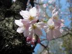 新宿御苑の紅鶴桜