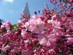 新宿御苑の花カイドウ