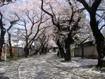 雑司ヶ谷の桜並木