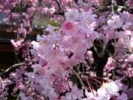雑司ヶ谷の枝垂れ桜
