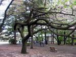 新宿御苑の桜は現代アート