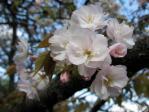 新宿御苑の桜(琴平)