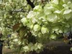 新宿御苑の桜(鬱金)