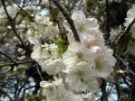 新宿御苑の桜(太白)