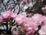 新宿御苑の桜(福禄寿)