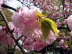 新宿御苑の桜(江戸)