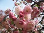 新宿御苑の桜(松月)