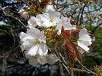 新宿御苑の桜(駿河台匂)