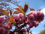 新宿御苑の桜(関山)