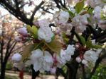 新宿御苑の桜(市原虎の尾)