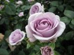 薔薇(ブルーバユー)