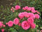 薔薇(インディアンメイアンディナ)