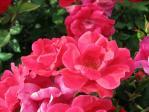 薔薇(ノックアウト)