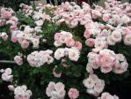 薔薇(桜霞)
