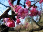 小石川後楽園の梅