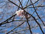 皇居東御苑の冬桜