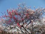 新宿御苑のハナモモ