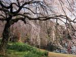 新宿御苑の枝垂れ桜