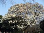 新宿御苑の白木蓮