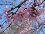 去年の井の頭公園の枝垂れ桜