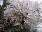 井の頭公園のソメイヨシノ