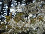 新宿御苑の山桜