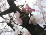 新宿御苑の鶴松桜