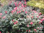 新宿御苑の椿