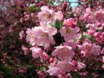 新宿御苑の花海棠