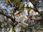 皇居東御苑の桜
