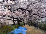 外濠公園の桜並木