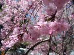 清水谷公園の枝垂れ桜