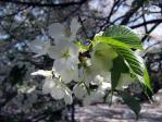 新宿御苑の大島桜