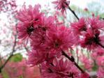 神代植物公園の菊桃