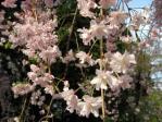 神代植物公園の枝垂れ桜