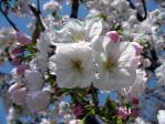 皇居東御苑の桜、千里香(センリコウ)