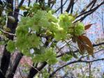 皇居東御苑の八重桜、御衣黄(ギョイコウ)
