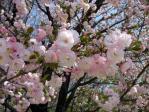 皇居東御苑の八重桜、一葉(イチヨウ)