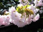 皇居東御苑の桜、東錦(アズマニシキ)
