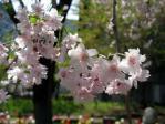 劉一華記念公園(常盤橋公園)の枝垂れ桜