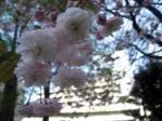 劉一華記念公園(常盤橋公園)の八重桜