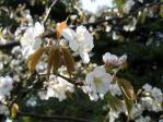 浜離宮の桜、薄毛山桜