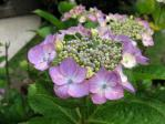 鳩山会館の紫陽花