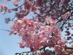 新宿御苑の桜(アメリカ)