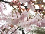 新宿御苑の桜(嵐山)