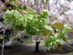 新宿御苑の桜(御衣黄)