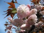 新宿御苑の桜(普賢象)