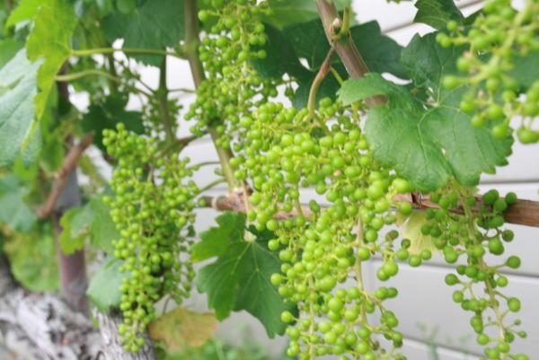 井筒ワインの葡萄