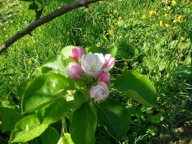 「ブライムリーズ・シードリング(ブラムリー)」の花1