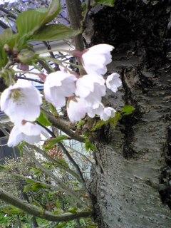 エゾヤマザクラ花